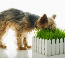 dog-eating-grass