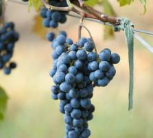 legenda vinului